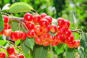 Sunlit ripe white rainier cherry sweet juicy berry bunches on tree branch in sunny orchard