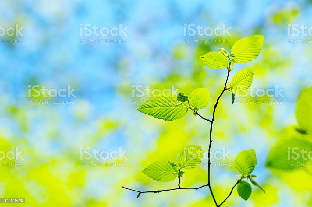 Sunlit Spring Beech Leaves royalty-free stock photo
