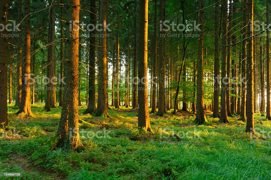 Sunlit Spruce Forest stock photo