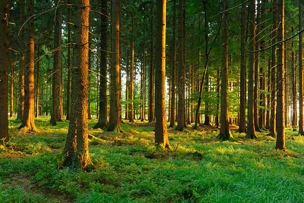 Sonnendurchflutete Spruce Forest – Foto