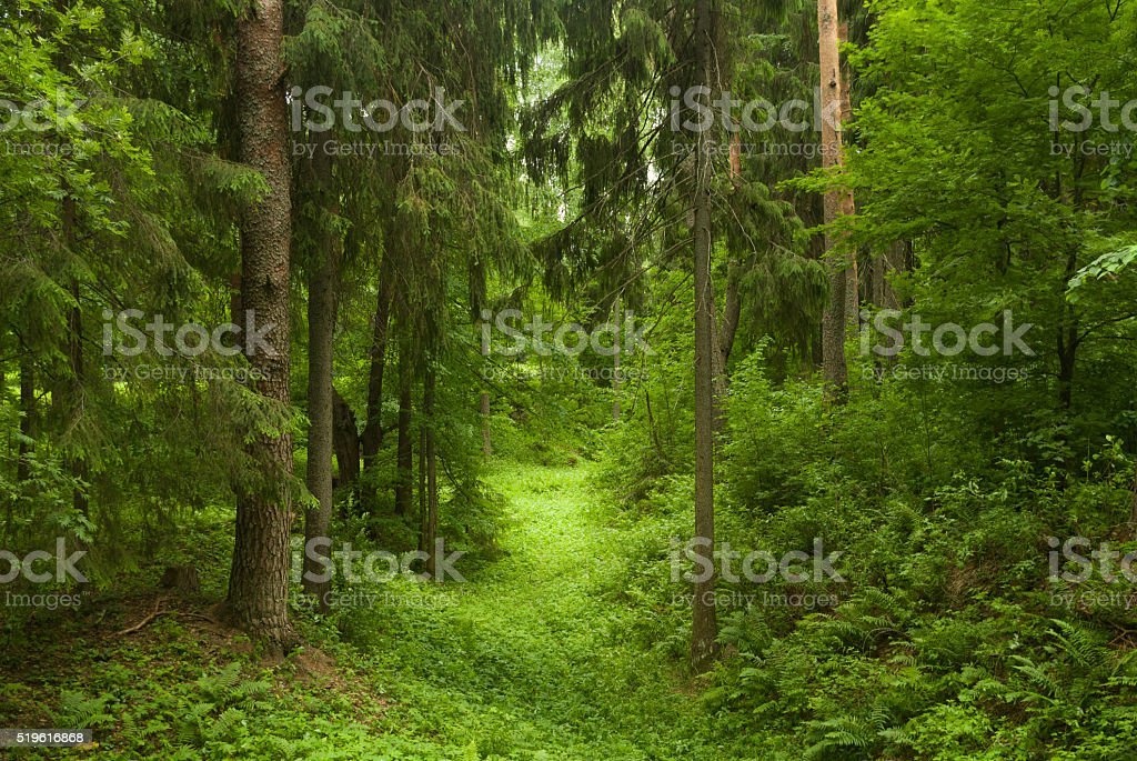 Sunlit Spruce stock photo