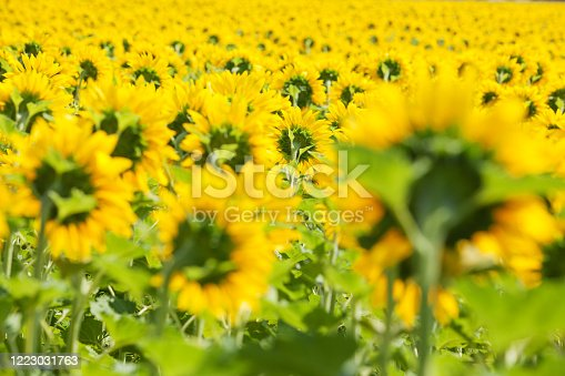 Sunlit sunflower field with selective focus