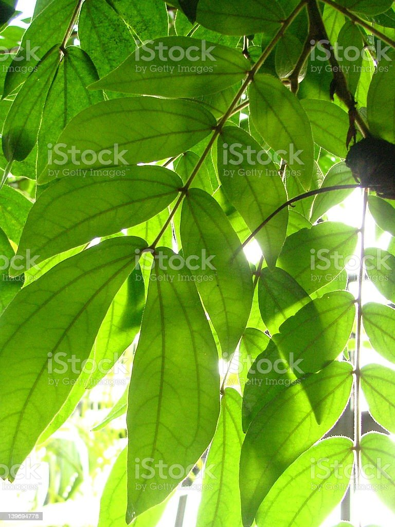 Sunlit tropical leaves royalty-free stock photo