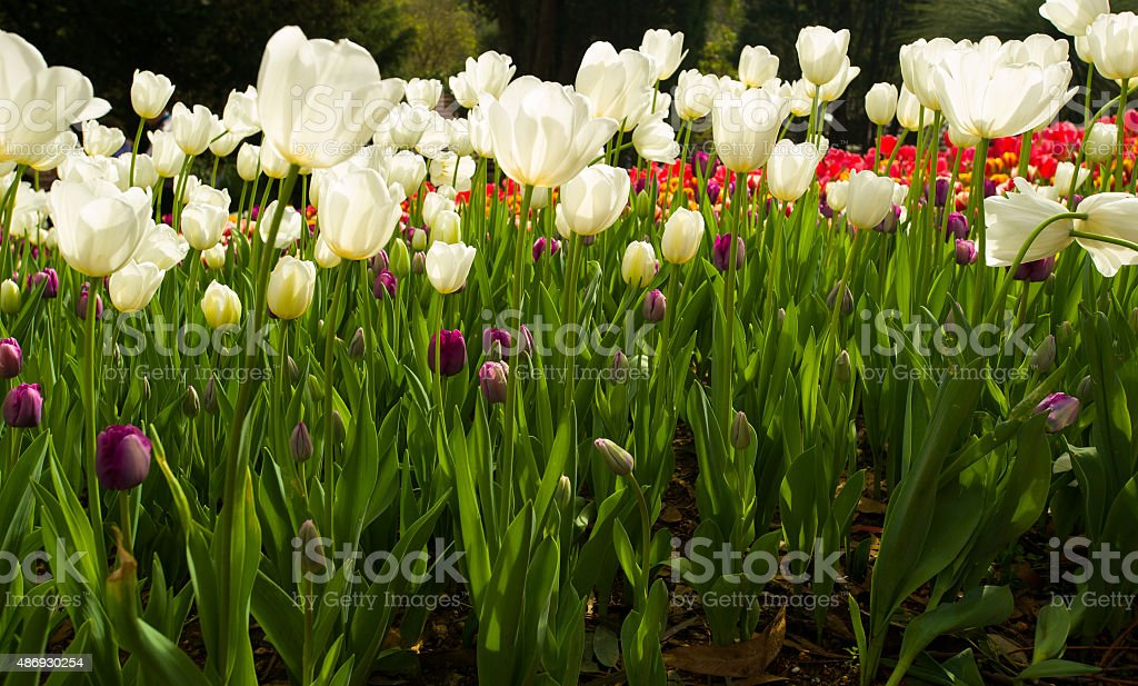 sunlit white tulip flower closeup stock photo