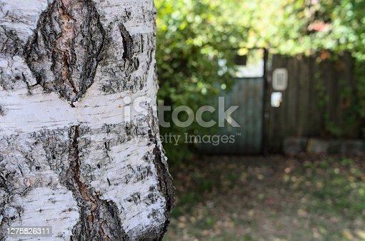 Sunlit yard entrance behind the birch tree trunk