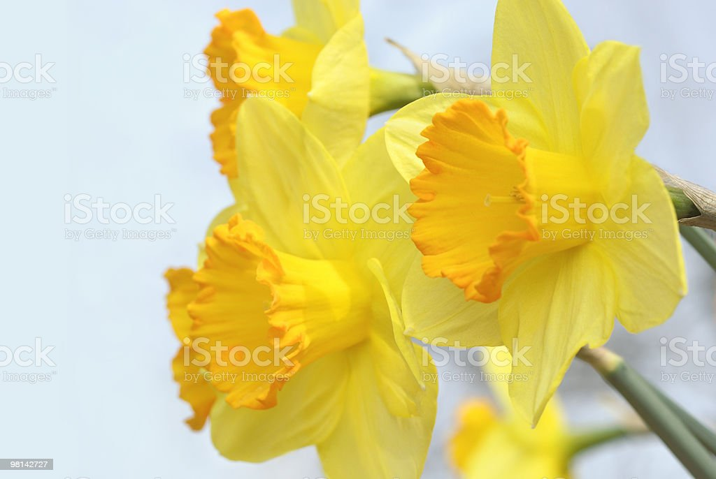 Sunlit yellow daffodils royalty-free stock photo