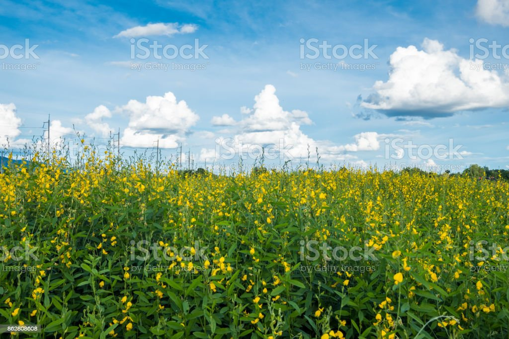 Sunn hemp, Chanvre indien, Crotalaria juncea yellow blossom in field with sky stock photo