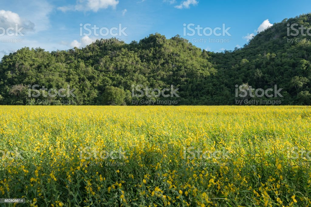 Sunn hemp, Chanvre indien, Crotalaria juncea yellow blossom in field with mountain stock photo
