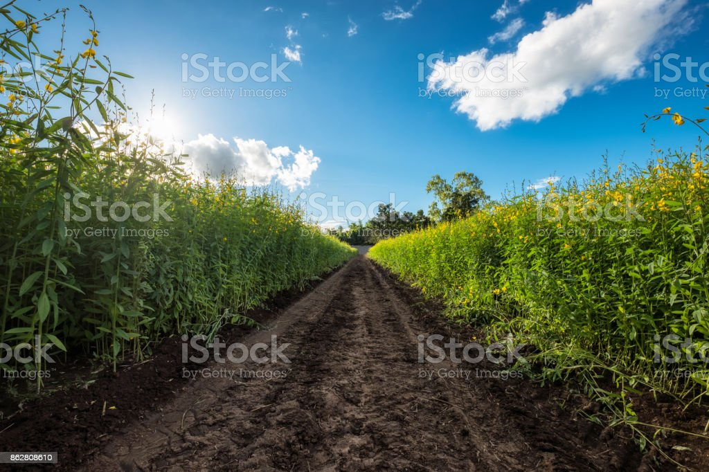 Sunn hemp, Chanvre indien, Crotalaria juncea yellow blossom with soil path in field stock photo