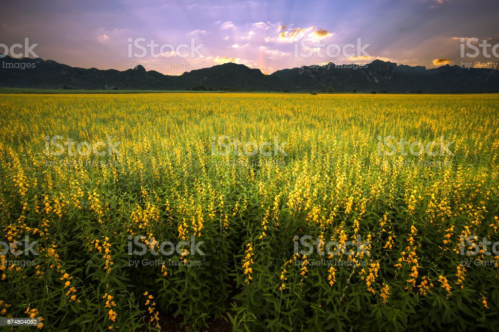 Sunn hemp field with mountain background stock photo