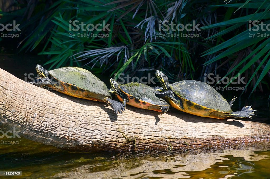 Sunning Florida Cooters stock photo