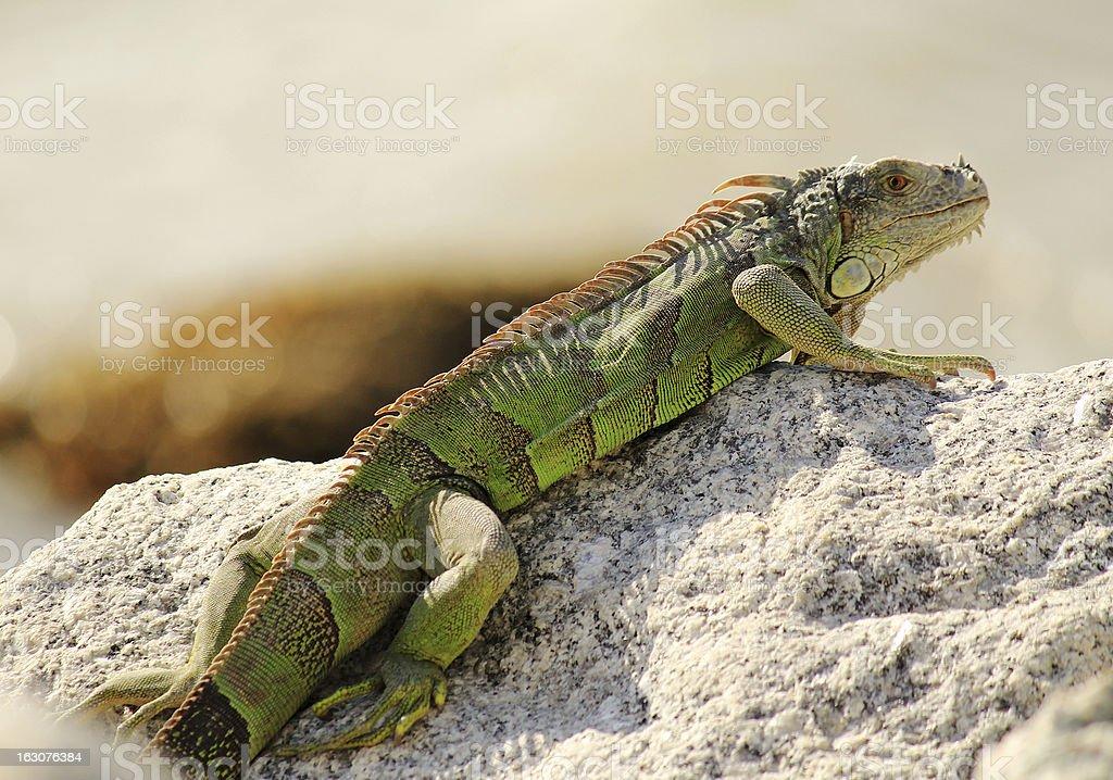 Sunning Green Iguana (Iguana iguana) royalty-free stock photo