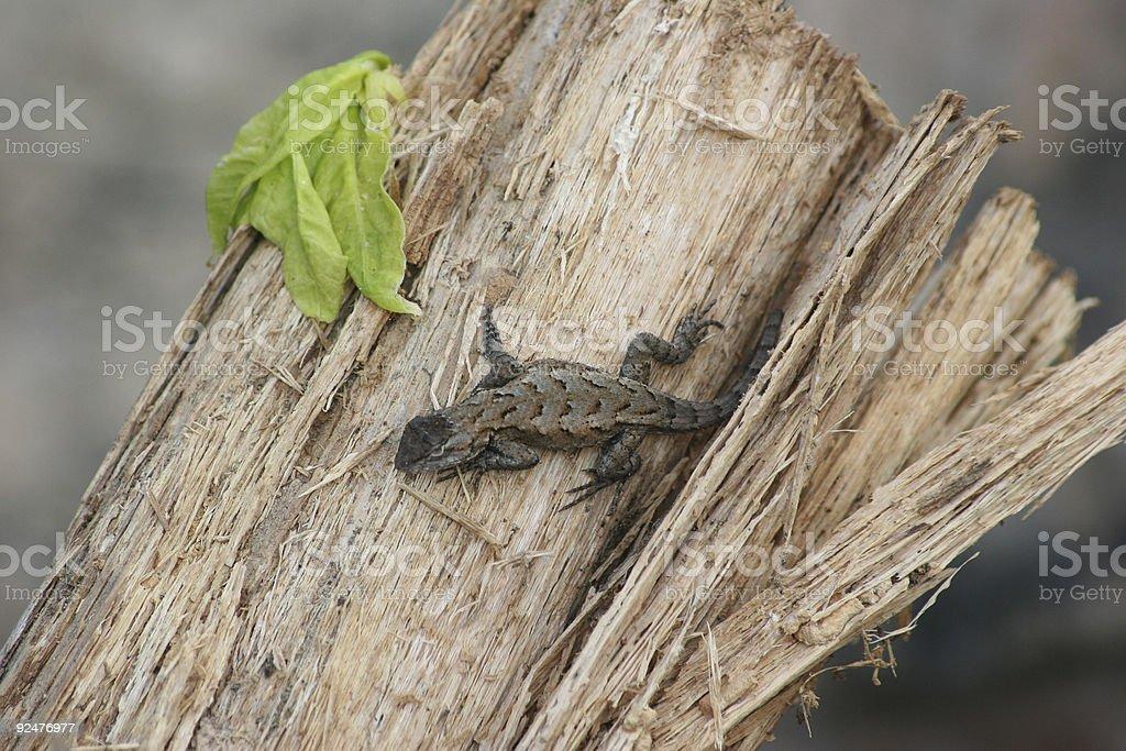 Sunning Lizard royalty-free stock photo