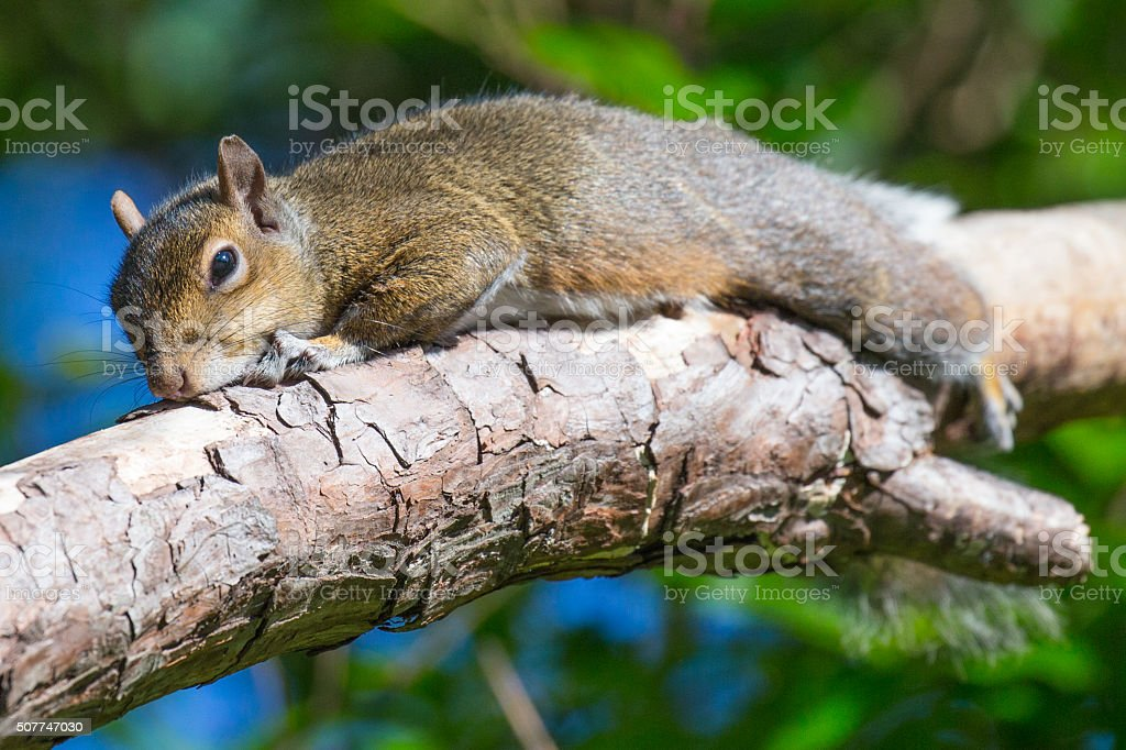 Sunning Squirrel stock photo