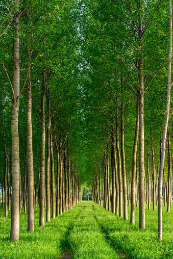 I Want To Buy Used Com >> Sunny Artificial Forest With Similar Young Green Trees In ...