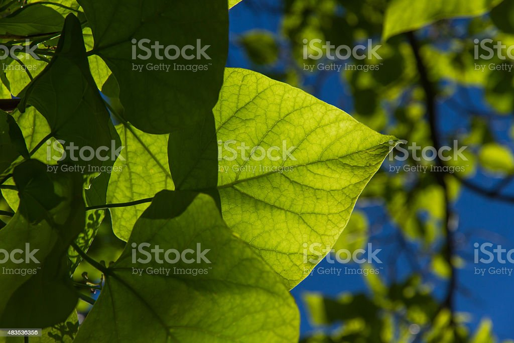 Sunny Ash Tree Sheet - Hojas de Arbol a Contraluz stock photo