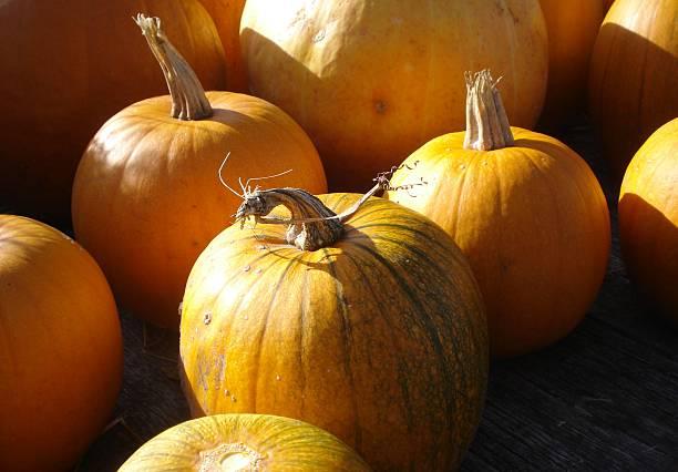 Sunny Autumn Pumpkins stock photo