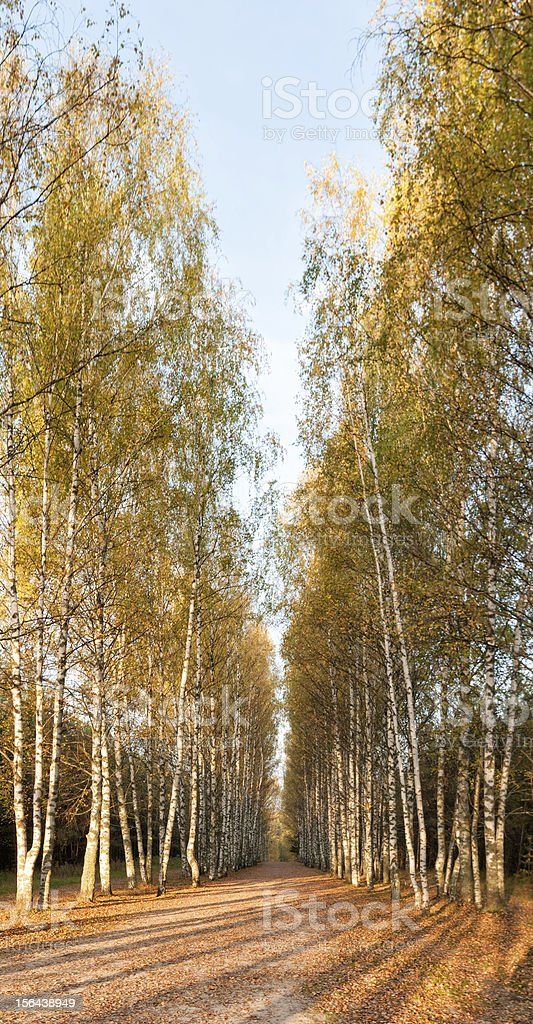 Sunny avenue of high birches royalty-free stock photo