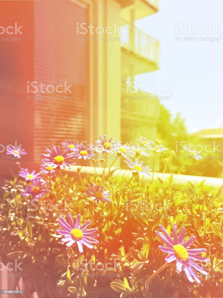 Sunny balcony with blooming daisies - Photo