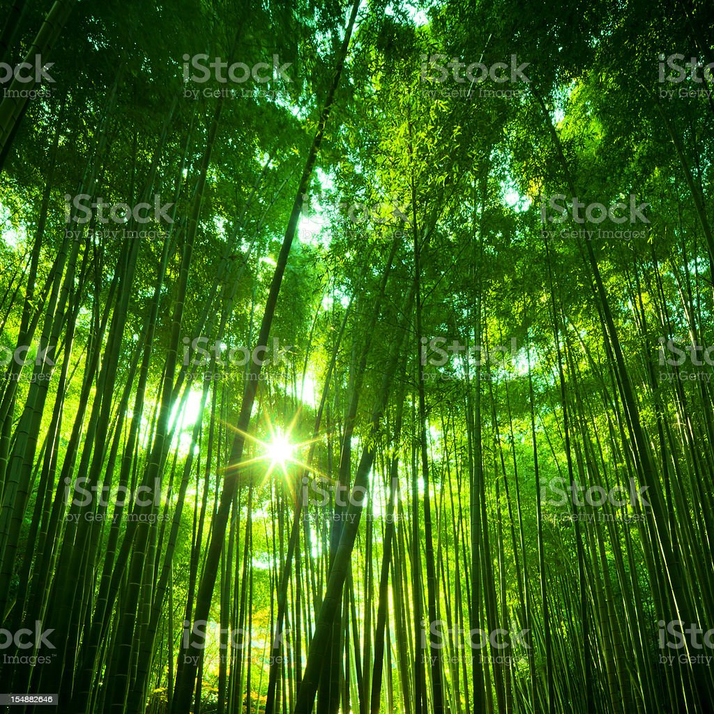 Sunny Bamboo Forest royalty-free stock photo