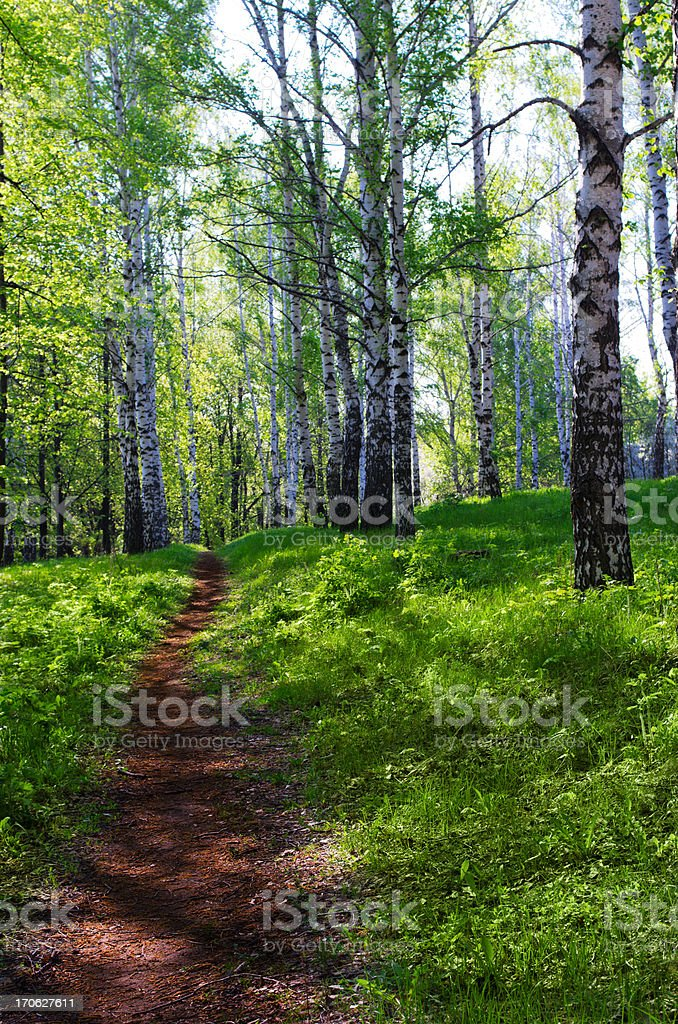 Sunny birch forest royalty-free stock photo