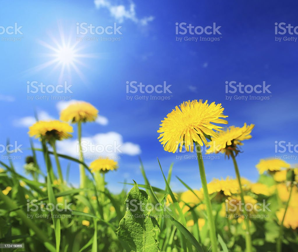 Sunny Blue Sky Over Yellow Dandelion Flowers Spring Meadow