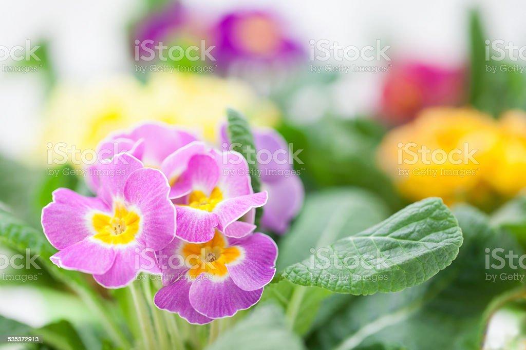 Sunny, bright Spring primroses stock photo