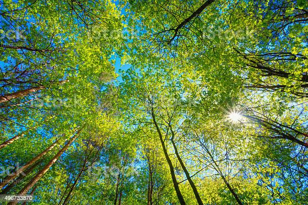 Photo of Sunny Canopy Of Tall Trees. Sunlight In Deciduous Forest, Summer