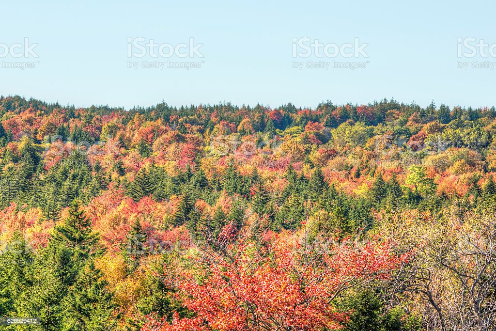 Sunny colorful red forest during autumn on mountain stock photo