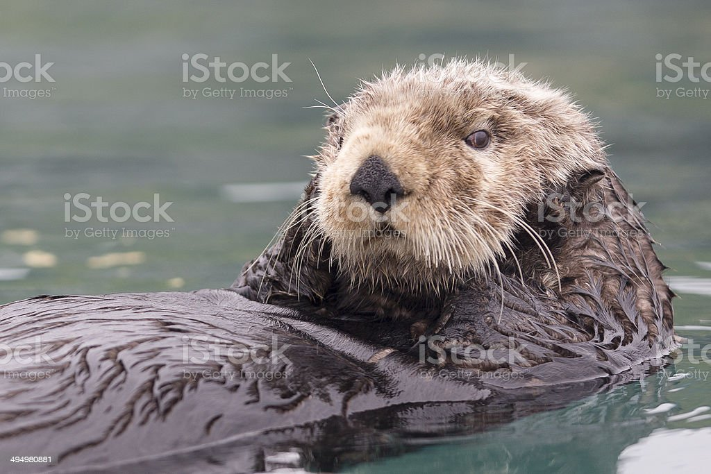 Sunny Cove Sea Otter stock photo