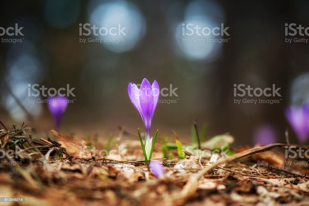 Sunny crocus in the forest in spring stock photo