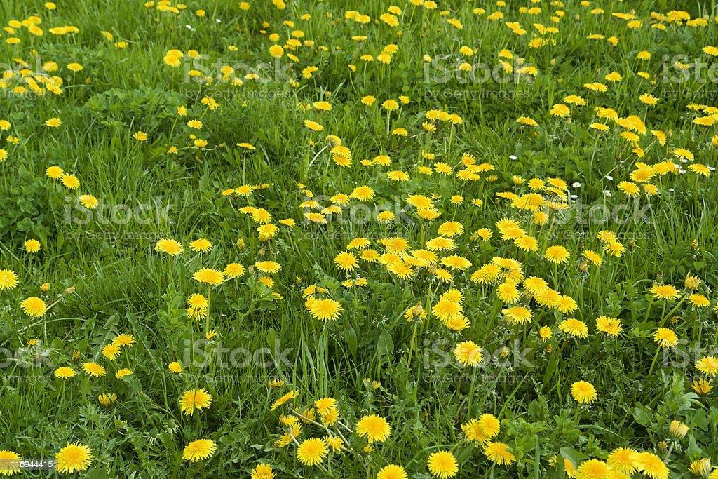 sunny dandelion meadow royalty-free stock photo