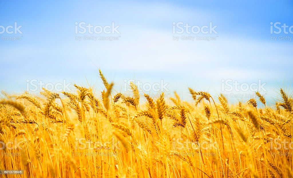 Sunny day and golden wheat field stock photo