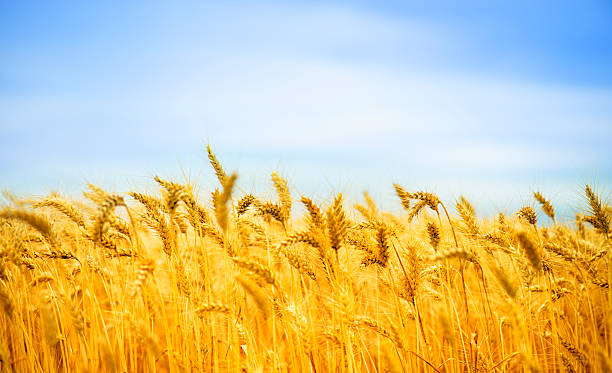 sunny day and golden wheat field - agricultural field stock photos and pictures