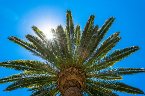 Sunny day in Los Angeles. Palm tree and sunbeam Los Angeles, California. Palms in the rays of the evening sun. Rest on Venice Beach hollywood california stock pictures, royalty-free photos & images