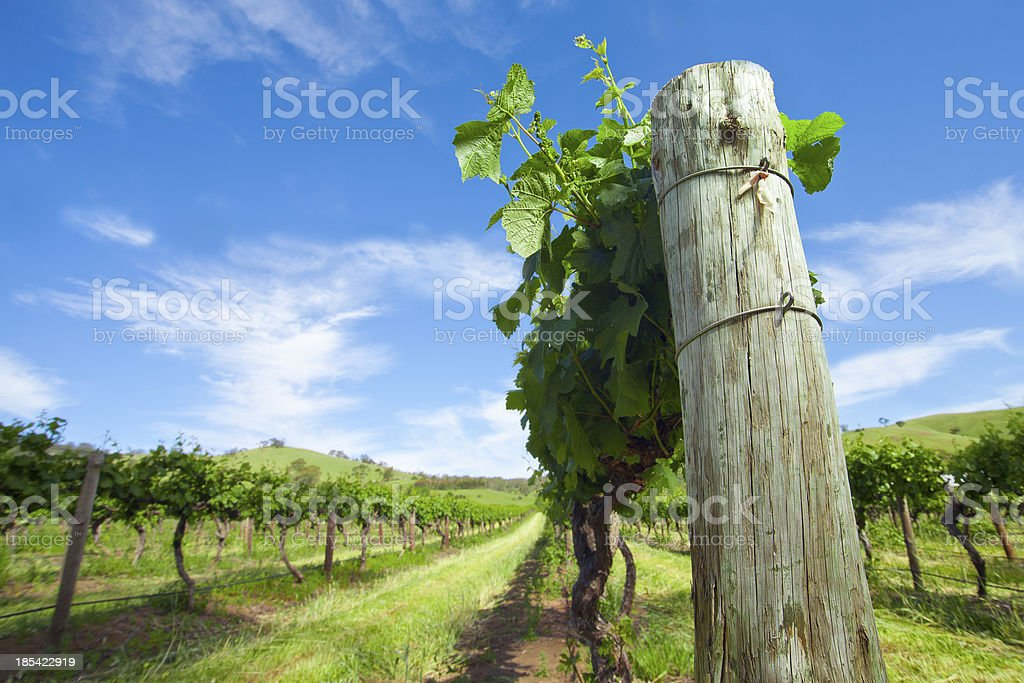 Sunny day on the vine. stock photo