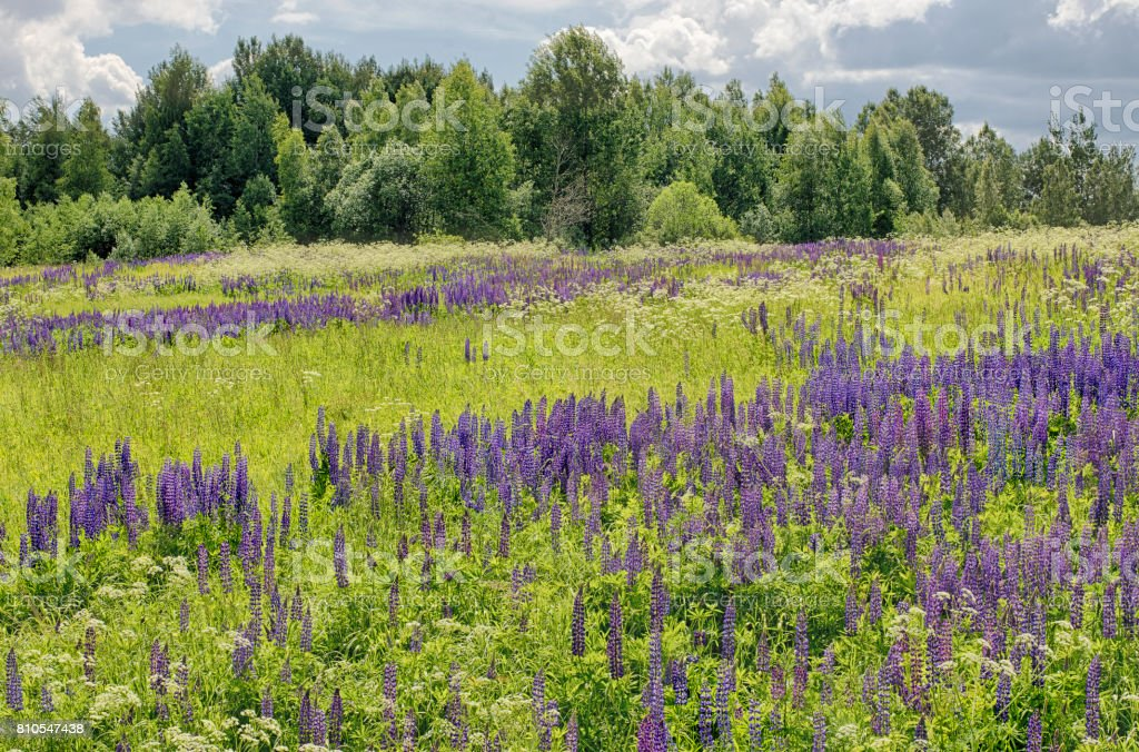 Sunny day summer flowering lupine on a green meadow with dramatic sky stock photo