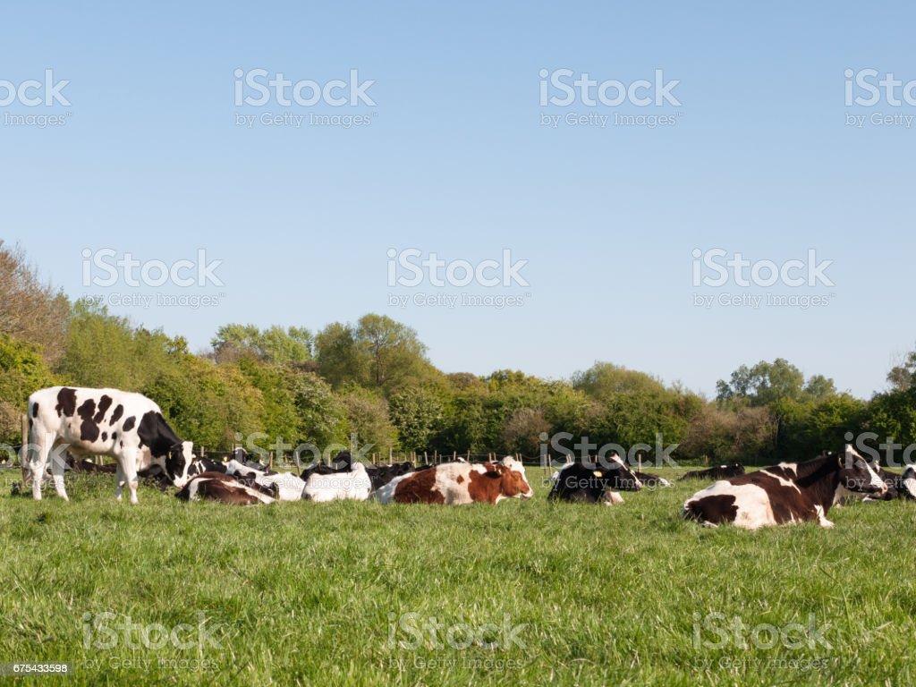 İnekler çim üzerinde dinlenme bol güneşli gün royalty-free stock photo