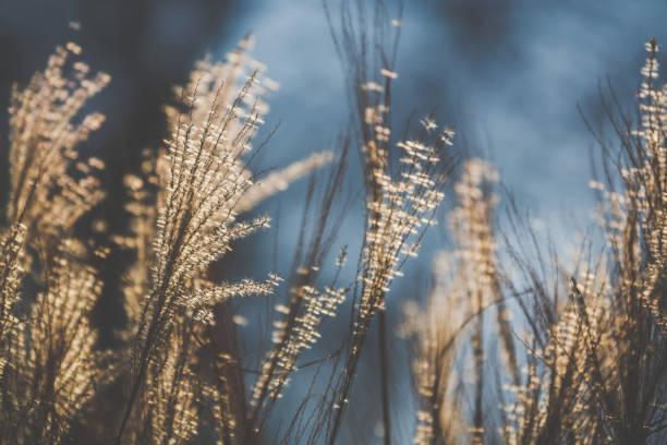 sunny dry meadow in evening sunlight in winter - семейство злаков стоковые фото и изображения