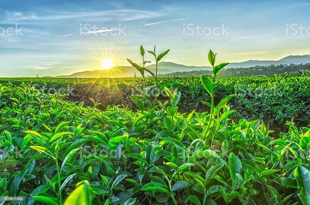 Sunny early on tea plantation stock photo