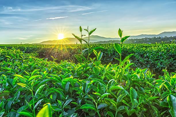 Sunny early on tea plantation stock photo