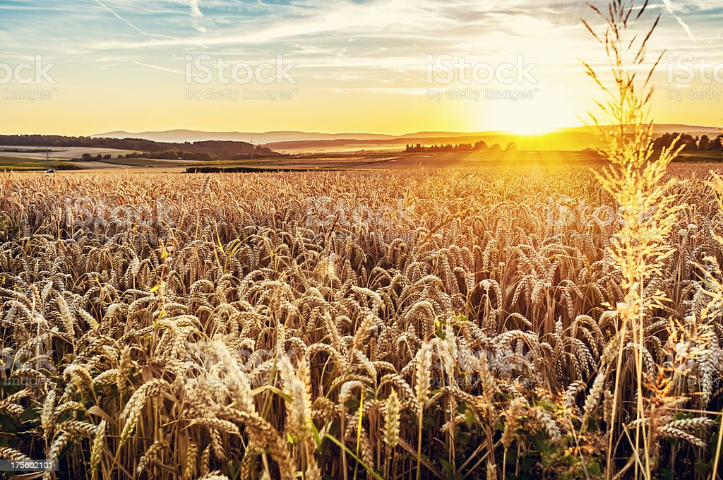 Sunny evening grainfield stock photo
