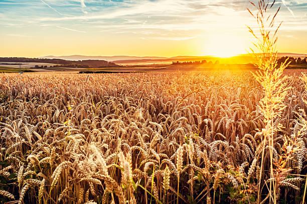 Sonnigen Abend grainfield – Foto