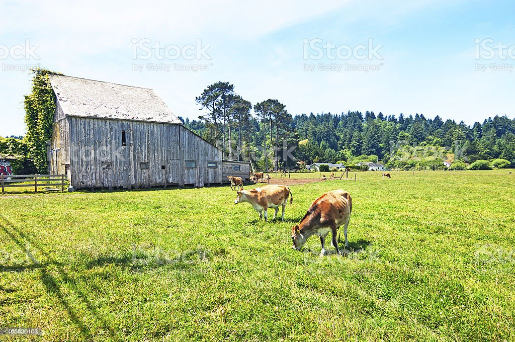 Sunny farm field with cows grazing by wooden shed. royalty-free stock photo