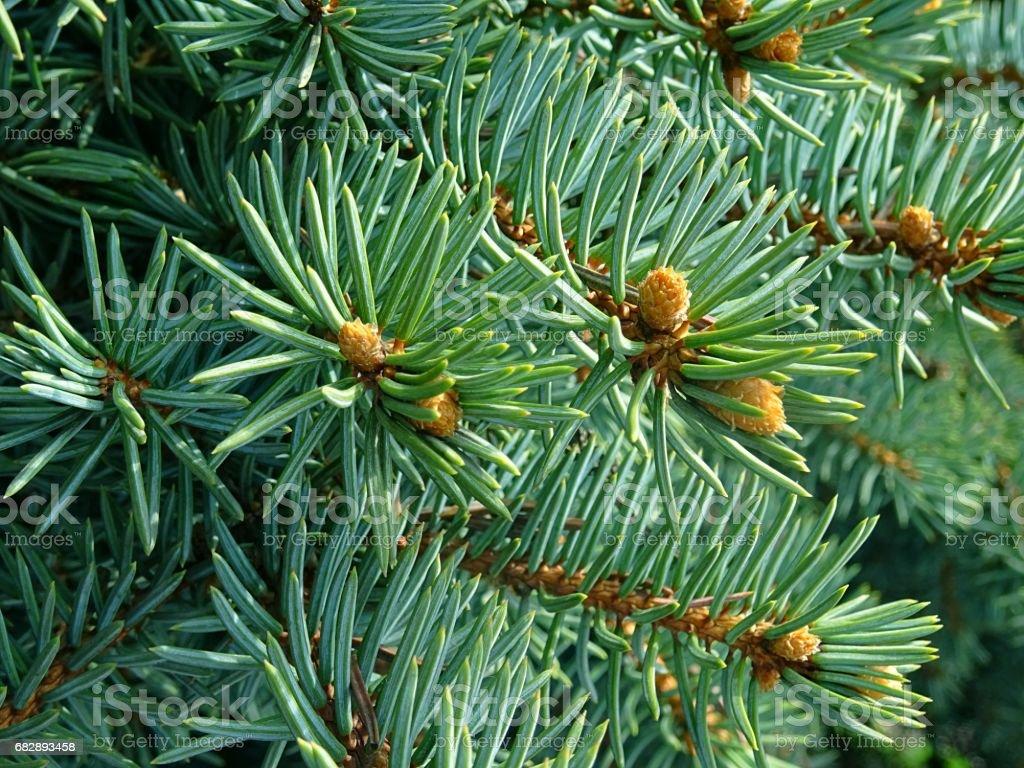 Sunny fir needles close up Lizenzfreies stock-foto