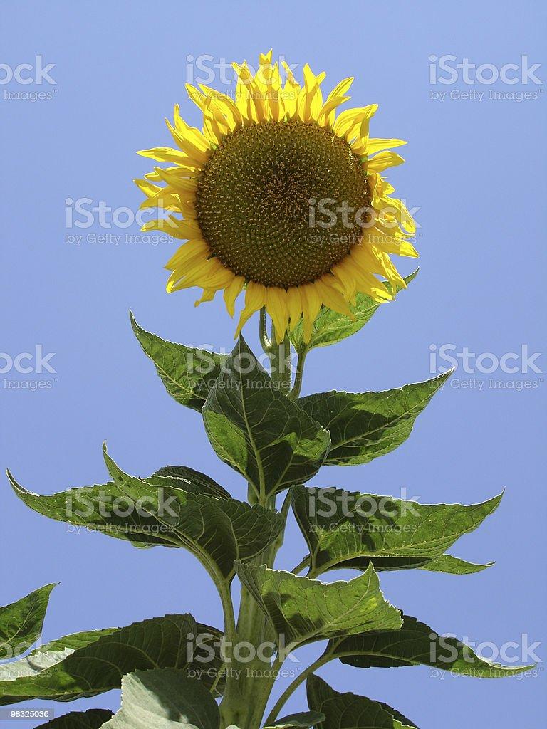 sunny flower royalty-free stock photo