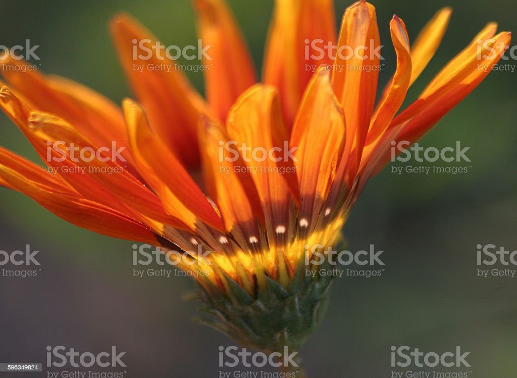 Sunny flower with white dots royalty-free stock photo