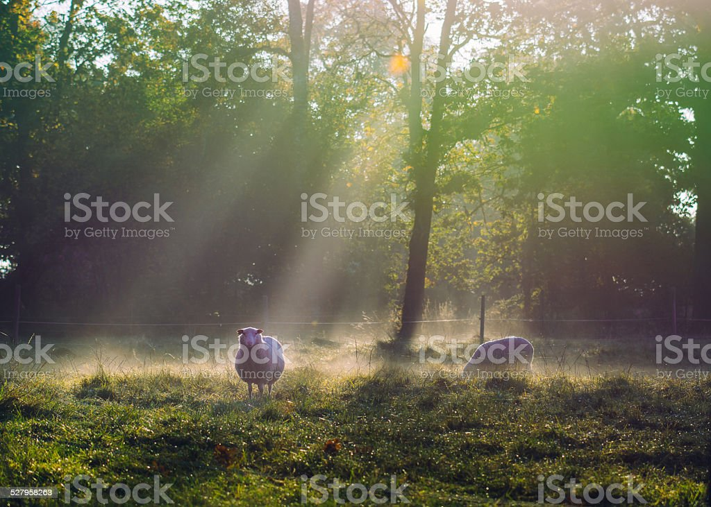 Sunny foggy autumn morning with sheep stock photo