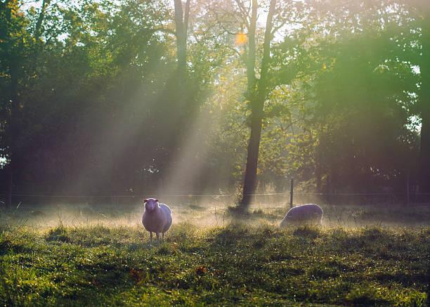 Sunny foggy autumn morning with sheep stock photo