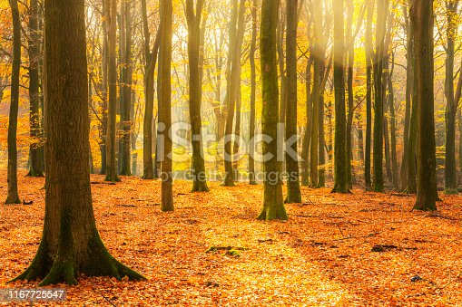 Sunny forest during a beautiful foggy fall day with brown golden leaves. The forest ground of the Speulder and Sprielderbos in the Veluwe nature reserve is covered with brown fallen leaves and the path is disappearing in the distance. The fog is giving the forest a desolate atmosphere.